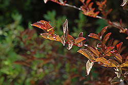 Cherry Dazzle Crapemyrtle (Lagerstroemia indica 'Gamad 1') at Meadows Farms Nurseries