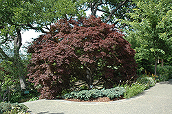 Burgundy Lace Japanese Maple (Acer palmatum 'Burgundy Lace') at Meadows Farms Nurseries
