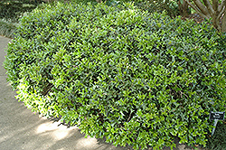 Rotunda Chinese Holly (Ilex cornuta 'Rotunda') at Meadows Farms Nurseries