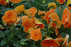 Delta Pure Deep Orange Pansy (Viola x wittrockiana 'Delta Pure Deep Orange') at Meadows Farms Nurseries