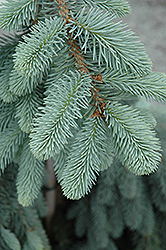 The Blues Colorado Blue Spruce (Picea pungens 'The Blues') at Meadows Farms Nurseries
