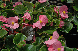 Super Olympia Pink Begonia (Begonia 'Super Olympia Pink') at Meadows Farms Nurseries