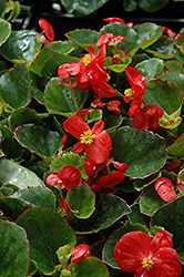 Super Olympia Red Begonia (Begonia 'Super Olympia Red') at Meadows Farms Nurseries