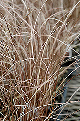 Leatherleaf Sedge (Carex buchananii) at Meadows Farms Nurseries