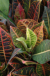 Variegated Croton (Codiaeum variegatum 'var. pictum') at Meadows Farms Nurseries