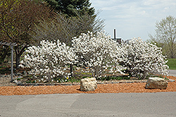 Royal Star Magnolia (Magnolia stellata 'Royal Star') at Meadows Farms Nurseries