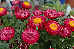 Helica Purple Strawflower (Bracteantha bracteata 'Helica Purple') at Meadows Farms Nurseries