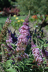 Buzz Violet Butterfly Bush (Buddleia 'Tobudviole') at Meadows Farms Nurseries