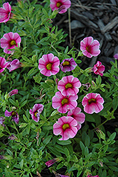 Aloha Volcano Pink Calibrachoa (Calibrachoa 'Aloha Volcano Pink') at Meadows Farms Nurseries