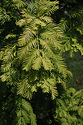 Gold Rush Dawn Redwood (Metasequoia glyptostroboides 'Gold Rush') at Meadows Farms Nurseries