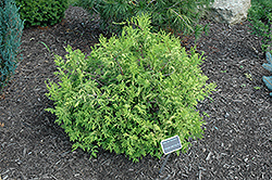 Vintage Gold Dwarf Moss Falsecypress (Chamaecyparis pisifera 'Vintage Gold') at Meadows Farms Nurseries
