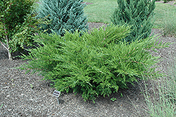 Sea Green Juniper (Juniperus chinensis 'Sea Green') at Meadows Farms Nurseries