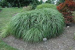 Adagio Maiden Grass (Miscanthus sinensis 'Adagio') at Meadows Farms Nurseries