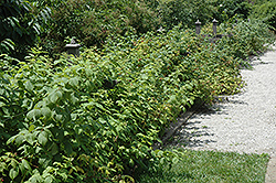 Heritage Raspberry (Rubus 'Heritage') at Meadows Farms Nurseries