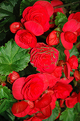 Solenia® Cherry Begonia (Begonia 'Solenia Cherry') at Meadows Farms Nurseries