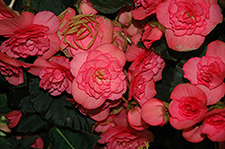 Solenia® Pink Begonia (Begonia 'Solenia Pink') at Meadows Farms Nurseries