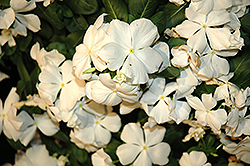 Cora® White Vinca (Catharanthus roseus 'Cora White') at Meadows Farms Nurseries