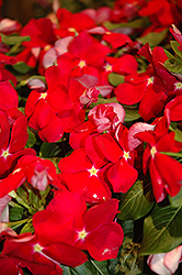 Cora® Red Vinca (Catharanthus roseus 'Cora Red') at Meadows Farms Nurseries