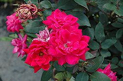 Red Double Knock Out Rose (Rosa 'Red Double Knock Out') at Meadows Farms Nurseries