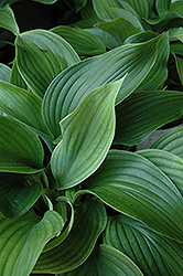 Komodo Dragon Hosta (Hosta 'Komodo Dragon') at Meadows Farms Nurseries