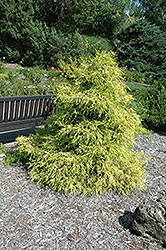 Lemon Thread Falsecypress (Chamaecyparis pisifera 'Lemon Thread') at Meadows Farms Nurseries
