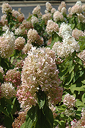 Sweet Summer Hydrangea (Hydrangea paniculata 'Sweet Summer') at Meadows Farms Nurseries