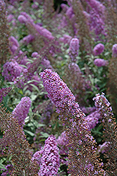 Flutterby® Pink Butterfly Bush (Buddleia davidii 'Podaras 9') at Meadows Farms Nurseries