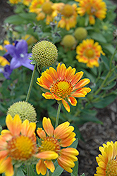 Mesa Peach Blanket Flower (Gaillardia x grandiflora 'Mesa Peach') at Meadows Farms Nurseries