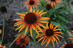Flame Thrower Coneflower (Echinacea 'Flame Thrower') at Meadows Farms Nurseries