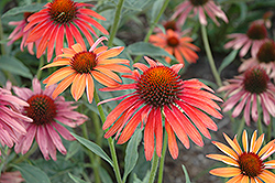 Hot Summer Coneflower (Echinacea 'Hot Summer') at Meadows Farms Nurseries