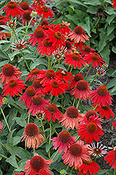 Sombrero® Salsa Red Coneflower (Echinacea 'Balsomsed') at Meadows Farms Nurseries
