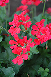 Caliente Coral Geranium (Pelargonium 'Caliente Coral') at Meadows Farms Nurseries