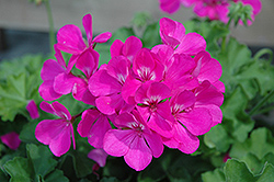 Caliente Lavender Geranium (Pelargonium 'Caliente Lavender') at Meadows Farms Nurseries