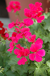 Caliente Rose Geranium (Pelargonium 'Caliente Rose') at Meadows Farms Nurseries