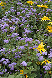 Blue Horizon Flossflower (Ageratum 'Blue Horizon') at Meadows Farms Nurseries