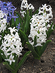 Carnegie Hyacinth (Hyacinthus orientalis 'Carnegie') at Meadows Farms Nurseries