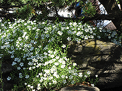 Mountain Sandwort (Arenaria montana) at Meadows Farms Nurseries