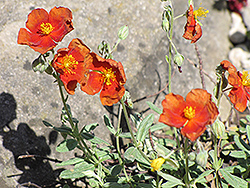 Henfield Brilliant Rock Rose (Helianthemum 'Henfield Brilliant') at Meadows Farms Nurseries