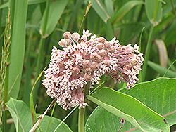 Common Milkweed (Asclepias syriaca) at Meadows Farms Nurseries