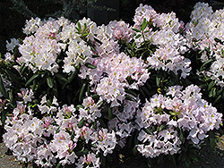 White Catawba Rhododendron (Rhododendron catawbiense 'Album') at Meadows Farms Nurseries