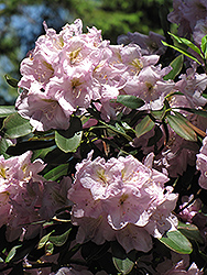 Catawba Rhododendron (Rhododendron catawbiense) at Meadows Farms Nurseries