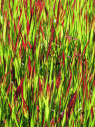 Red Baron Japanese Blood Grass (Imperata cylindrica 'Red Baron') at Meadows Farms Nurseries