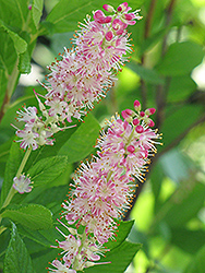 Ruby Spice Summersweet (Clethra alnifolia 'Ruby Spice') at Meadows Farms Nurseries