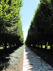 Pyramidal European Hornbeam (Carpinus betulus 'Fastigiata') at Meadows Farms Nurseries