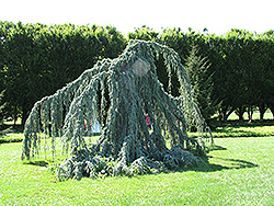 Weeping Blue Atlas Cedar (Cedrus atlantica 'Glauca Pendula') at Meadows Farms Nurseries