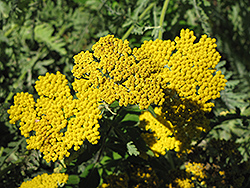 Coronation Gold Yarrow (Achillea 'Coronation Gold') at Meadows Farms Nurseries