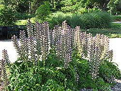 Hungarian Bear's Breeches (Acanthus hungaricus) at Meadows Farms Nurseries