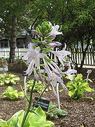 Fragrant Bouquet Hosta (Hosta 'Fragrant Bouquet') at Meadows Farms Nurseries