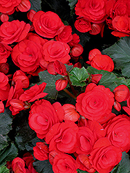 Nonstop® Red Begonia (Begonia 'Nonstop Red') at Meadows Farms Nurseries