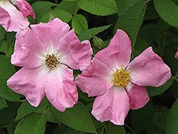 Rugosa Rose (Rosa rugosa) at Meadows Farms Nurseries